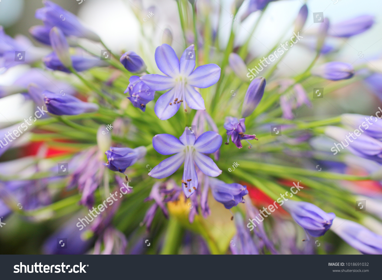 Lily nile plant stock photo edit now 1018691032 shutterstock lily of the nile plant izmirmasajfo