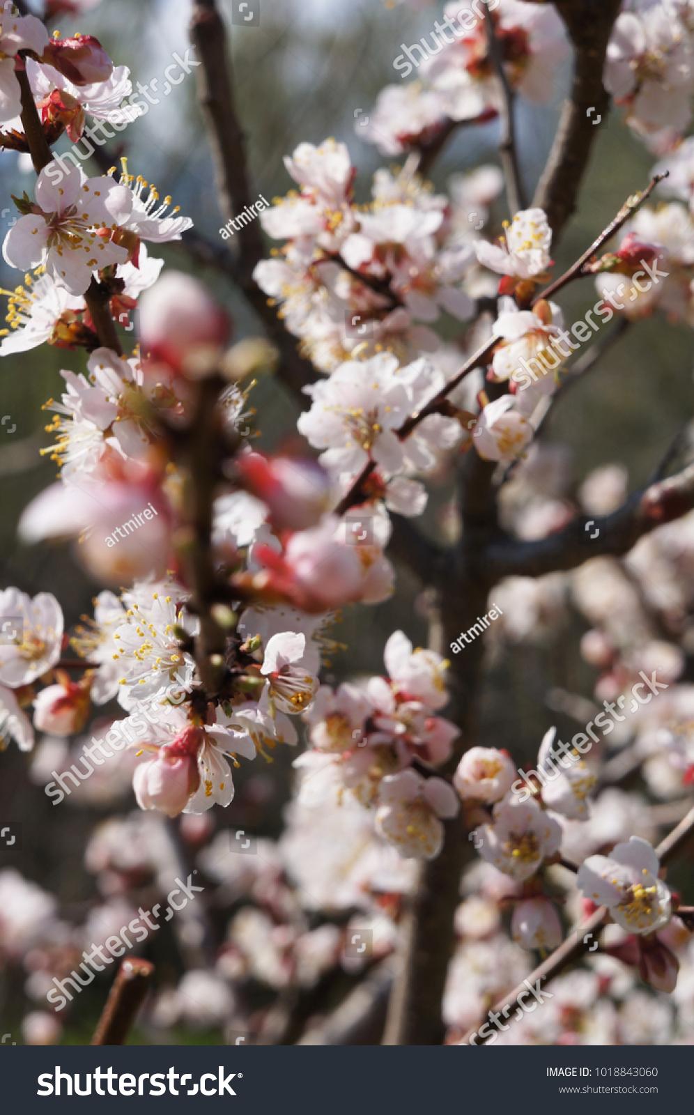 Cherry Blossom Or Sakura Flower On Nature Background Sakura Full