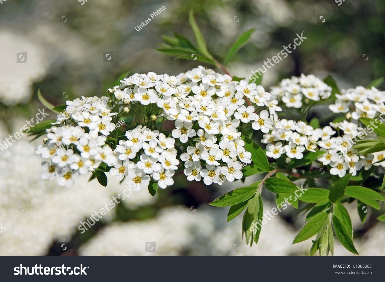 Spiraea Alpine Spring Flower White Flowering Stock Photo Edit Now