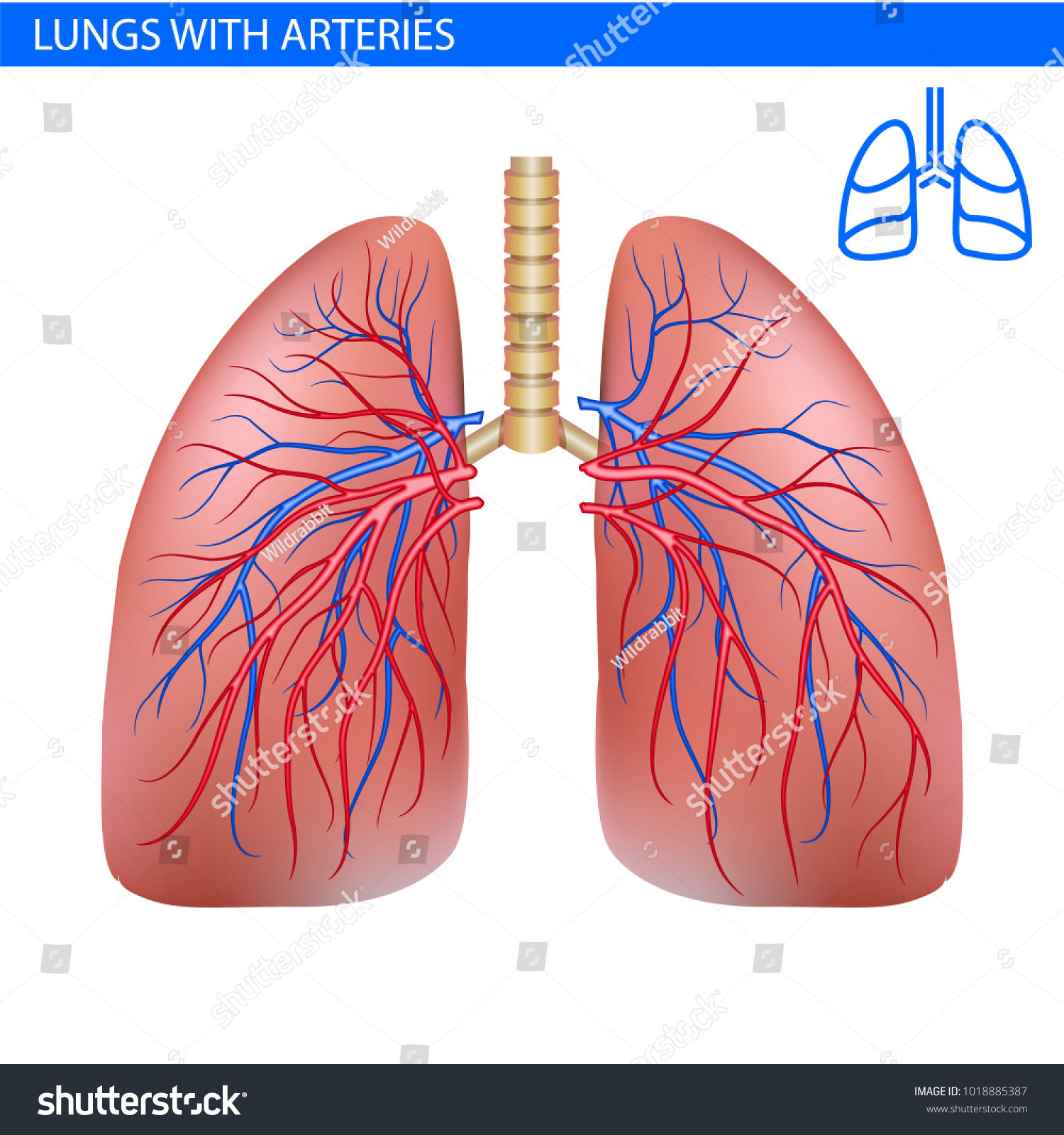 Human lungs anatomy artery circulatory system stock vector human lungs anatomy with artery circulatory system realistic illustration front view in detail lunge ccuart Images