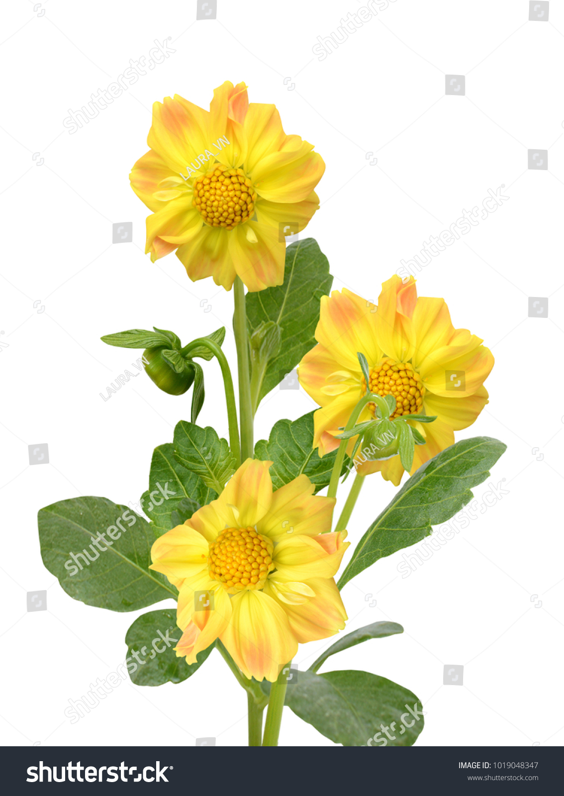 Beautiful yellow dahlia flower isolated on white background ez canvas id 1019048347 izmirmasajfo