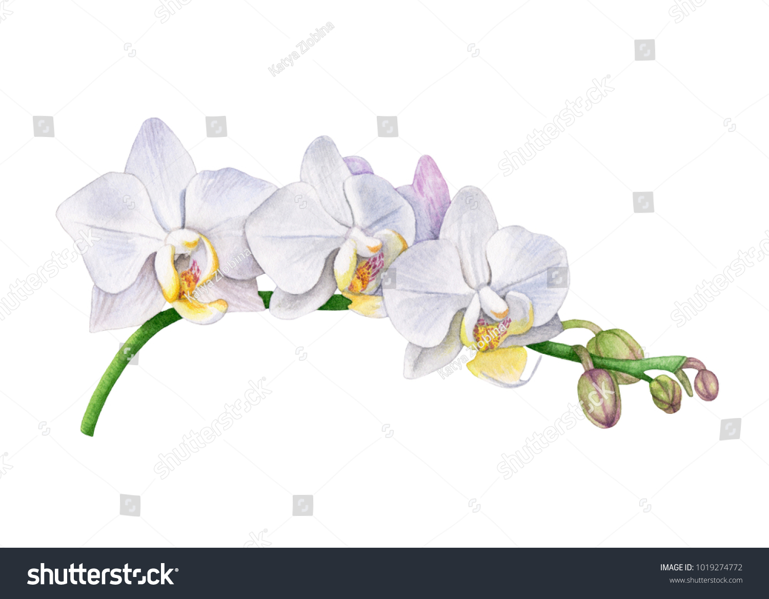 Watercolor Orchid Flowers White Orchid Branch Stock Illustration