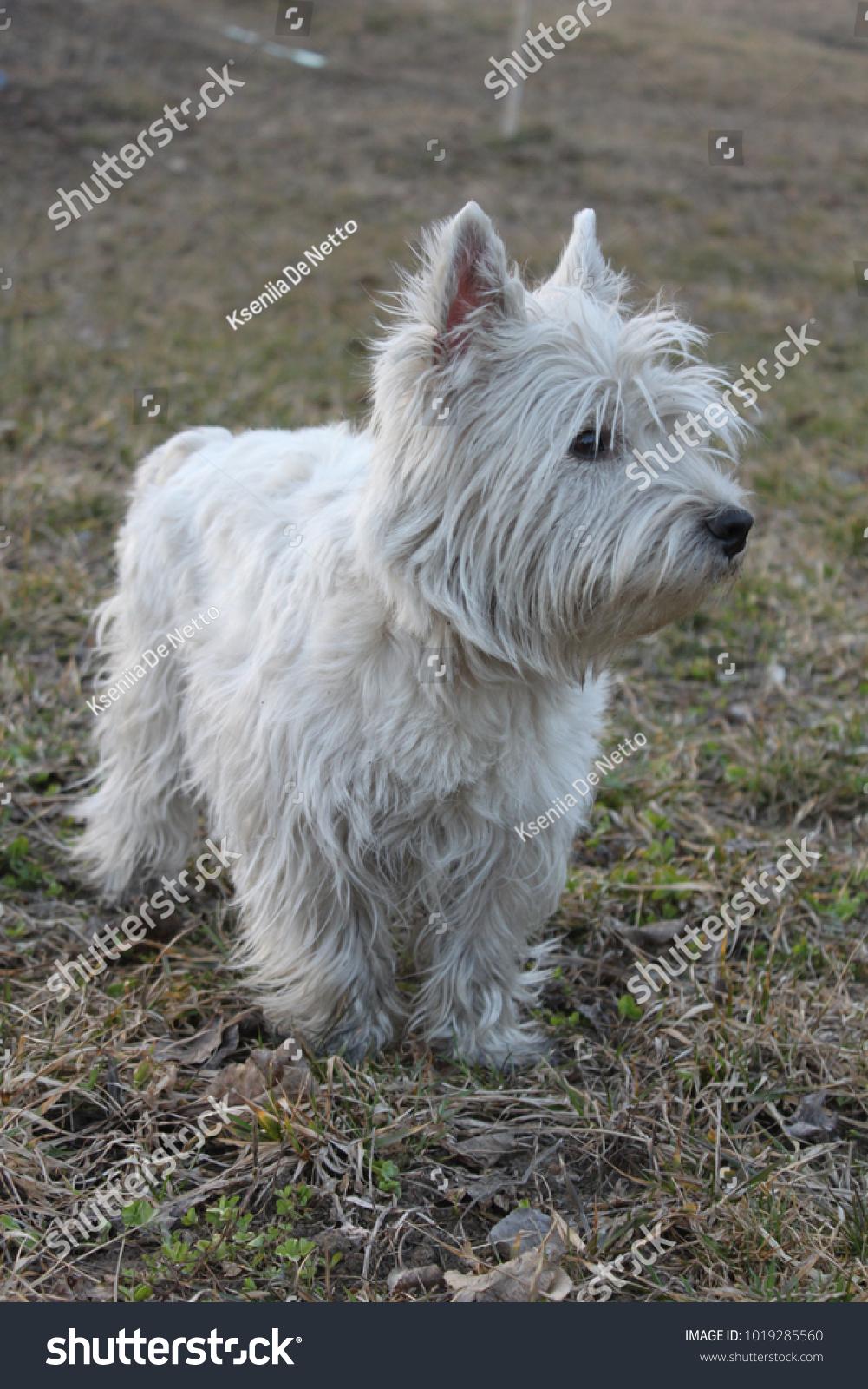 West Highland White Terrier Westie Dog Stock Photo (Royalty Free ...