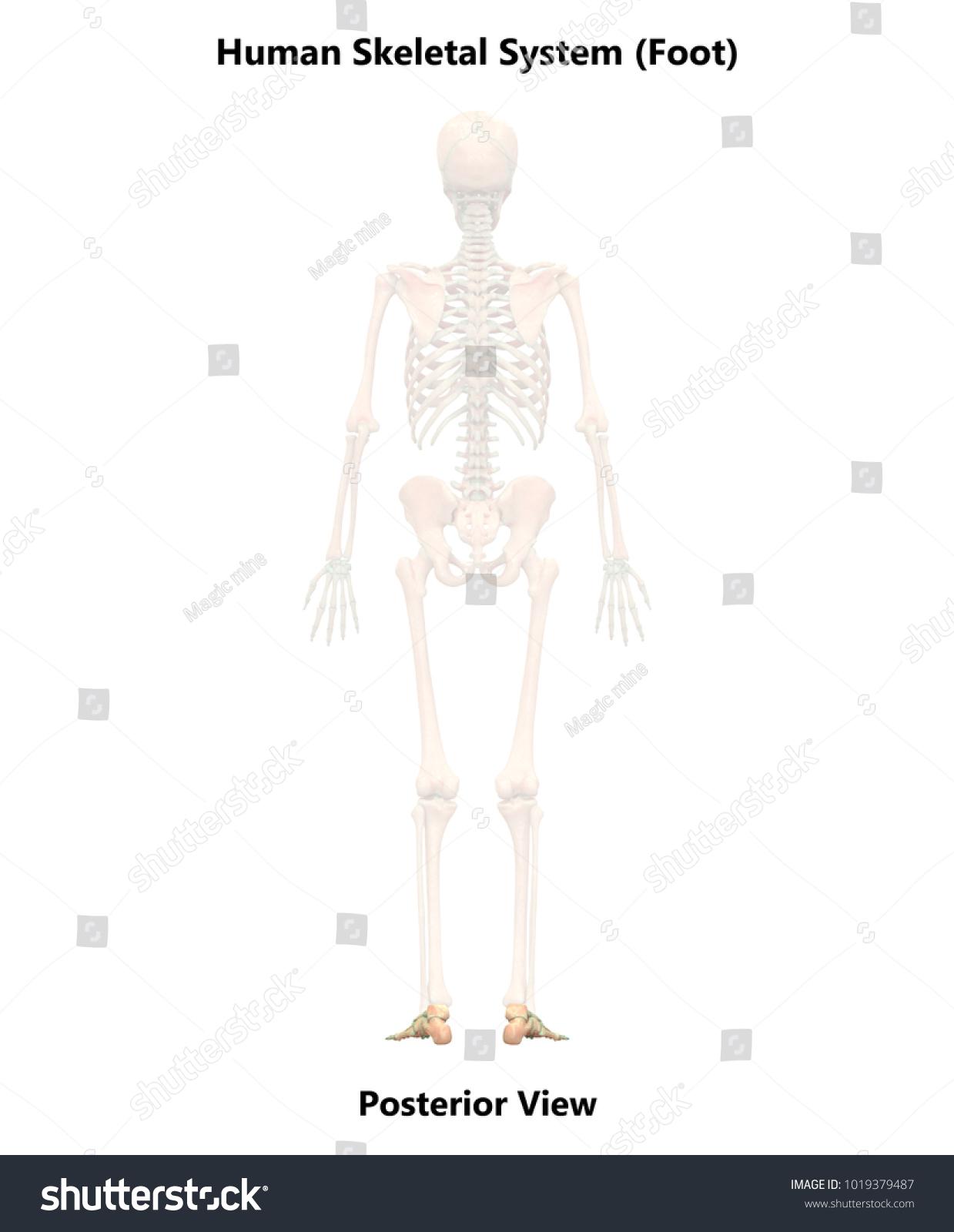 Human Skeleton System Foot Joints Anatomy Stock Illustration ...