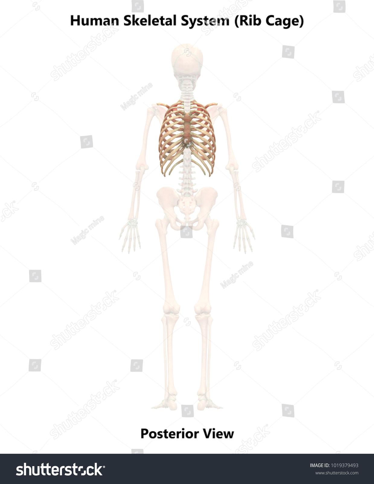 Human Skeleton System Rib Cage Anatomy Stock Illustration 1019379493 ...