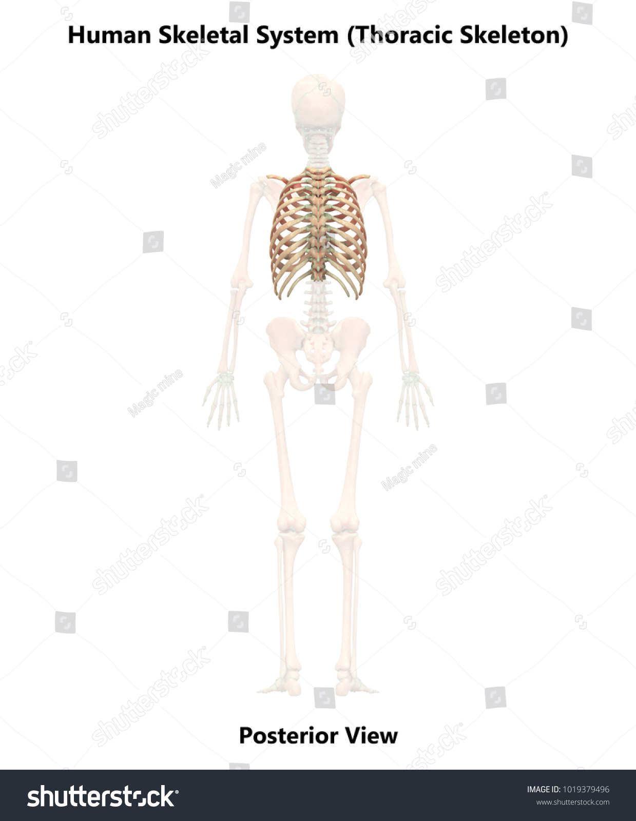 Human Skeleton System Thoracic Skeleton Anatomy Stock Illustration ...