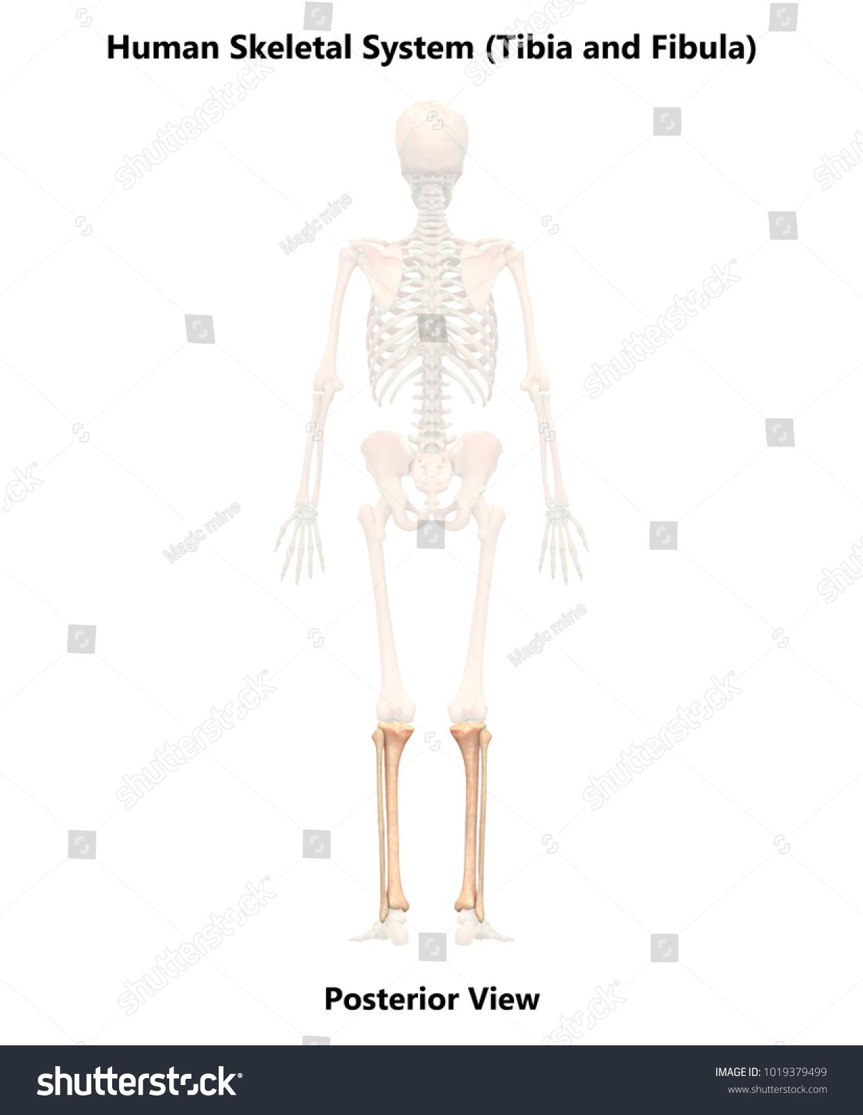 Royalty Free Stock Illustration Of Human Skeleton System Tibia