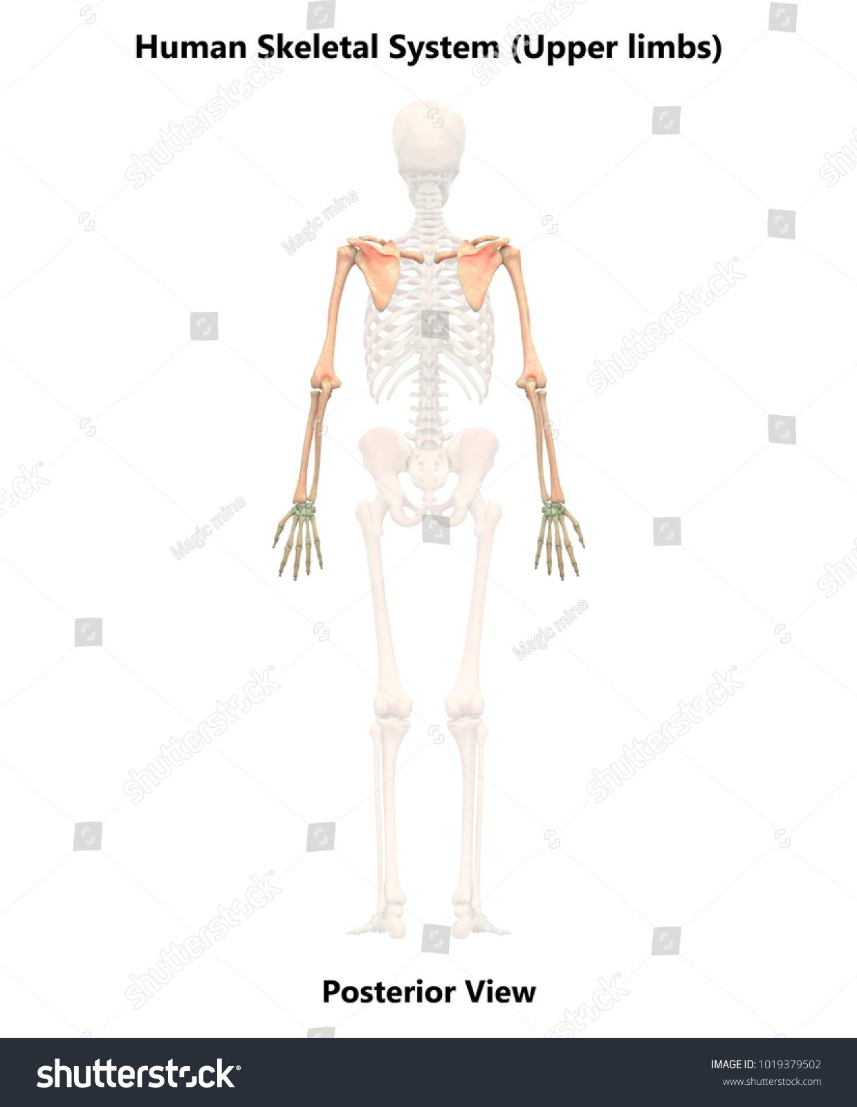 Royalty Free Stock Illustration Of Human Skeleton System Upper Limbs