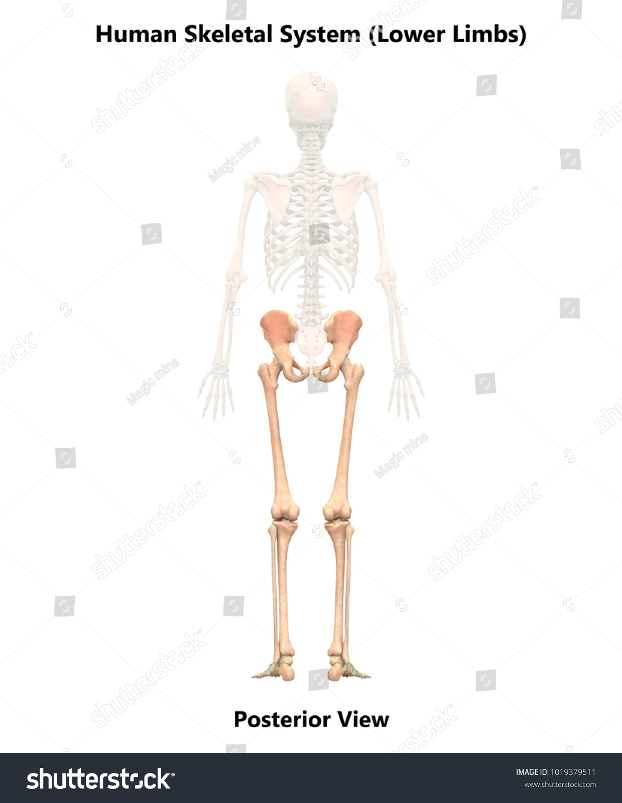 Human Skeleton System Lower Limbs Anatomy Stock Illustration