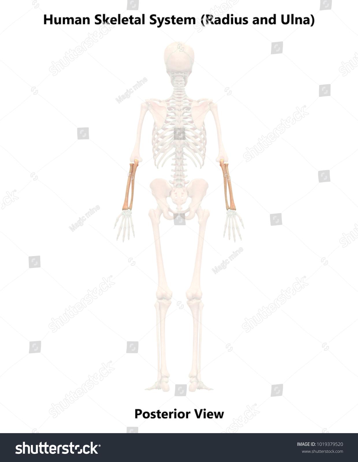 Human Skeleton System Radius Ulna Anatomy Stock Illustration ...