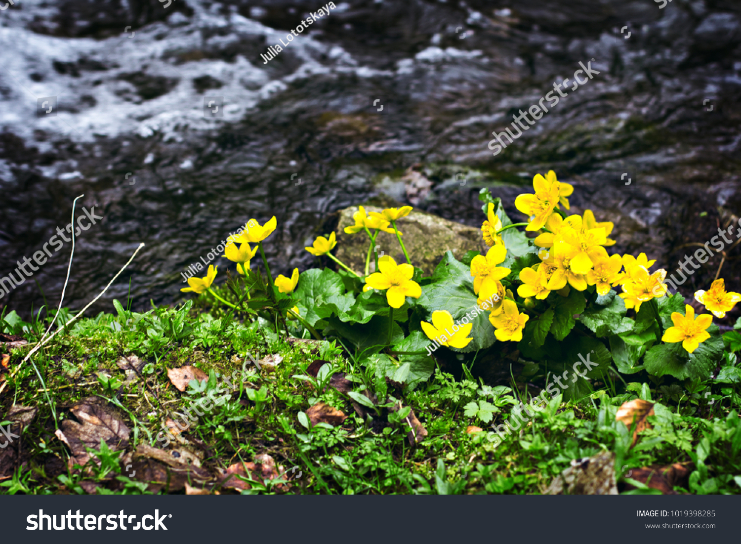 Small Yellow Spring Flowers Mountains Vesennik Stock Photo Edit Now