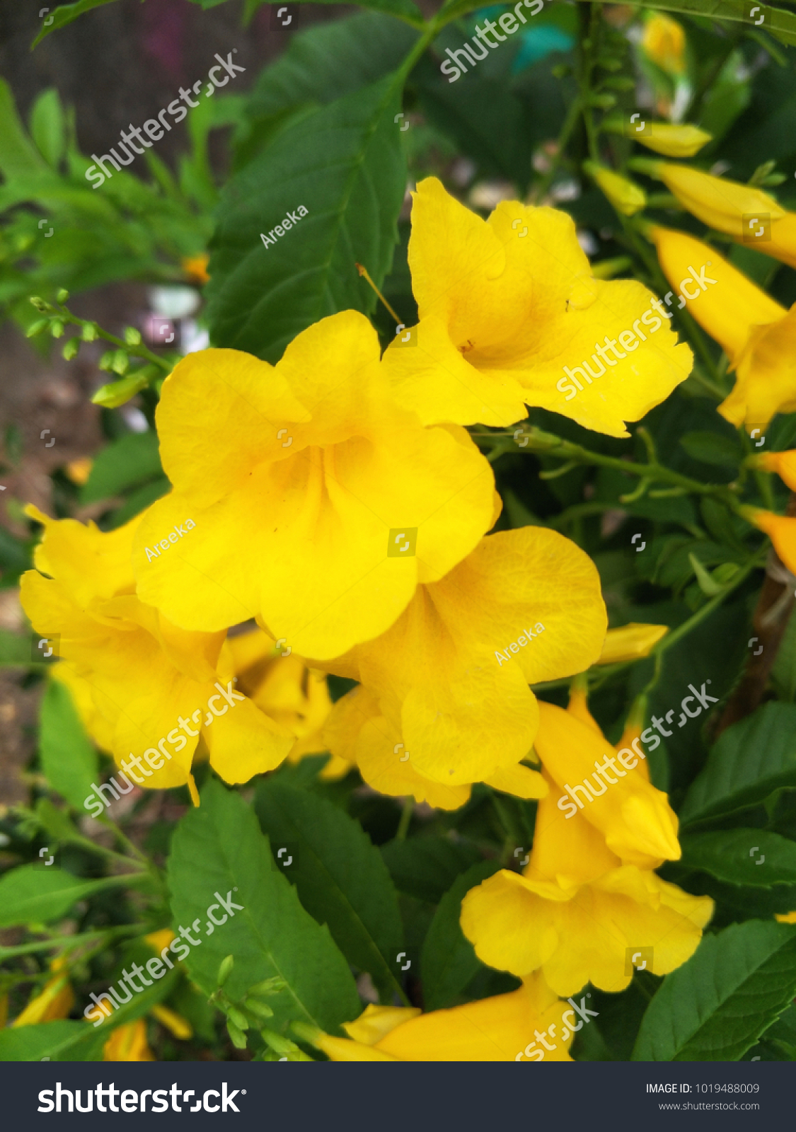 Yellow Elder Flower Trumpetflower Yellow Trumpet Stock Photo Edit