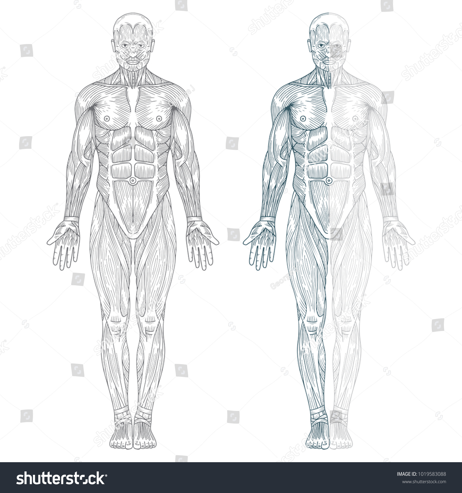 Hand Drawn Human Anatomy Illustration Muscles Stock Vector Royalty