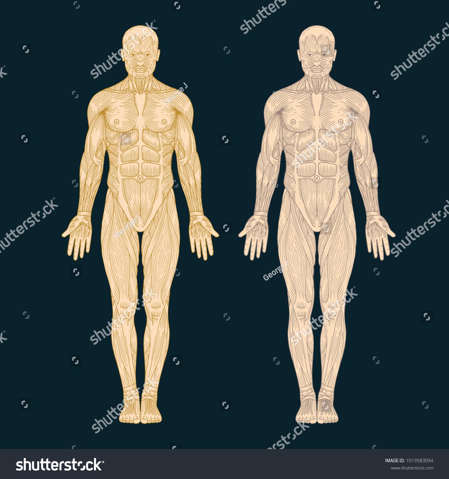 Hand Drawn Human Anatomy Illustration Muscles Vector de ...