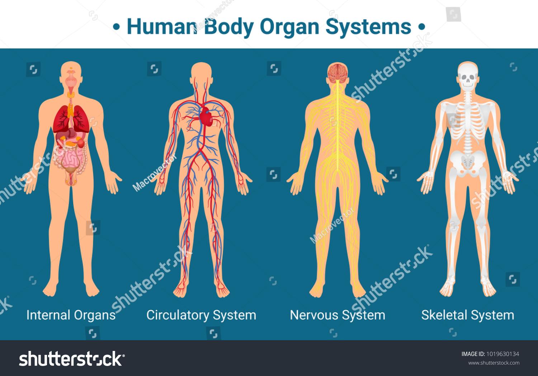 Human Body Internal Organs Circulatory Nervous Stock-Vektorgrafik ...