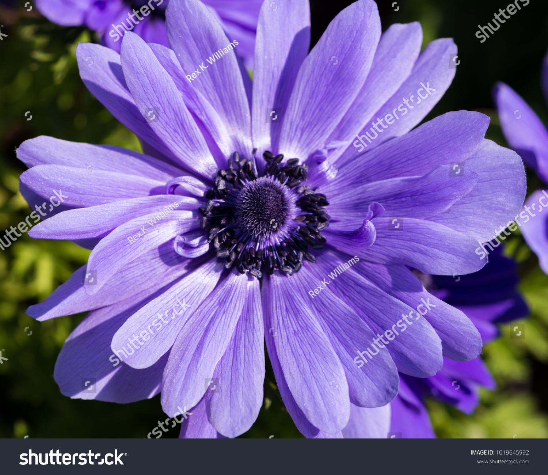 Purple Flower Yellow Center Beauty Art Stock Photo Edit Now