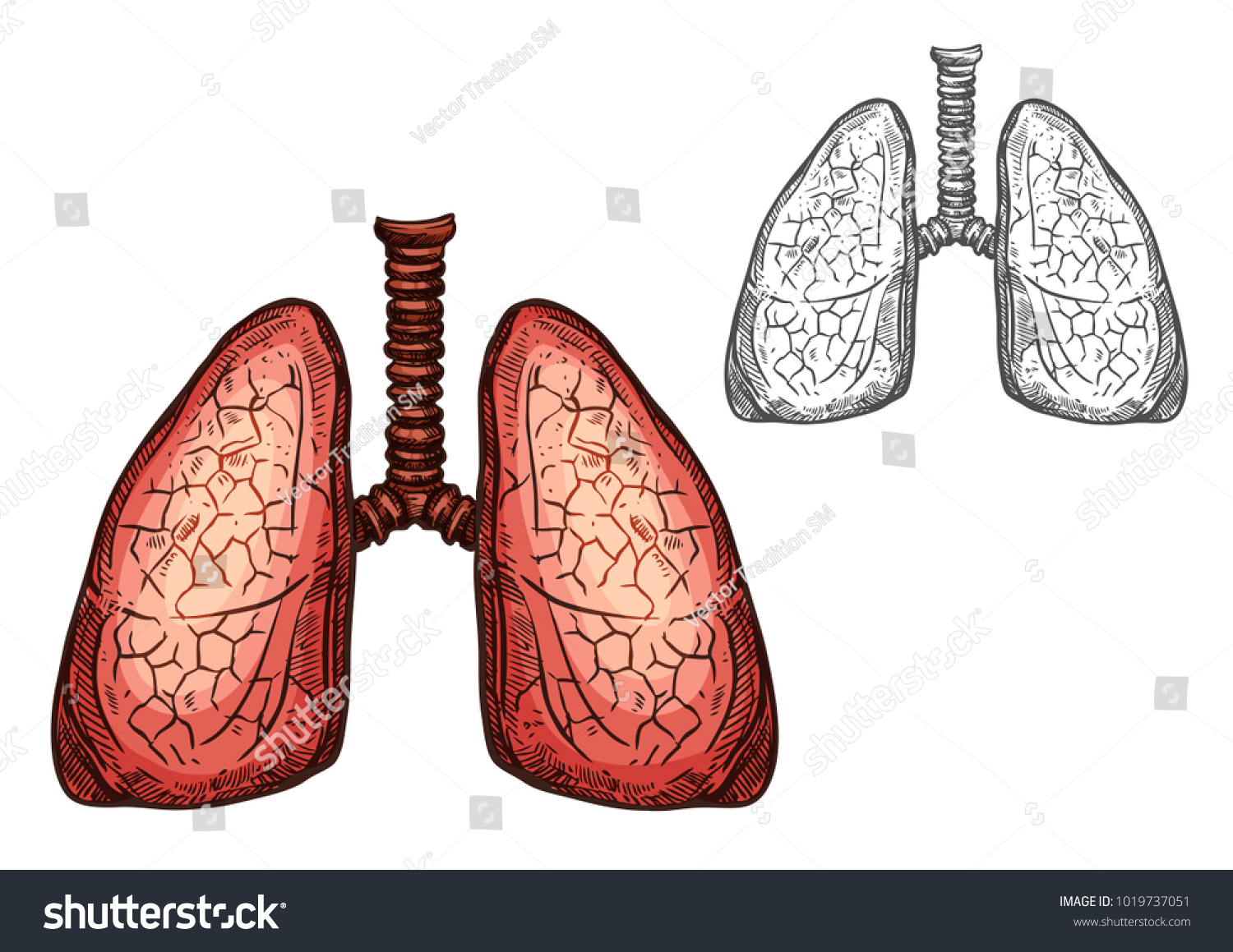 Lung Organ Human Anatomy Isolated Sketch Stock Vector Royalty Free