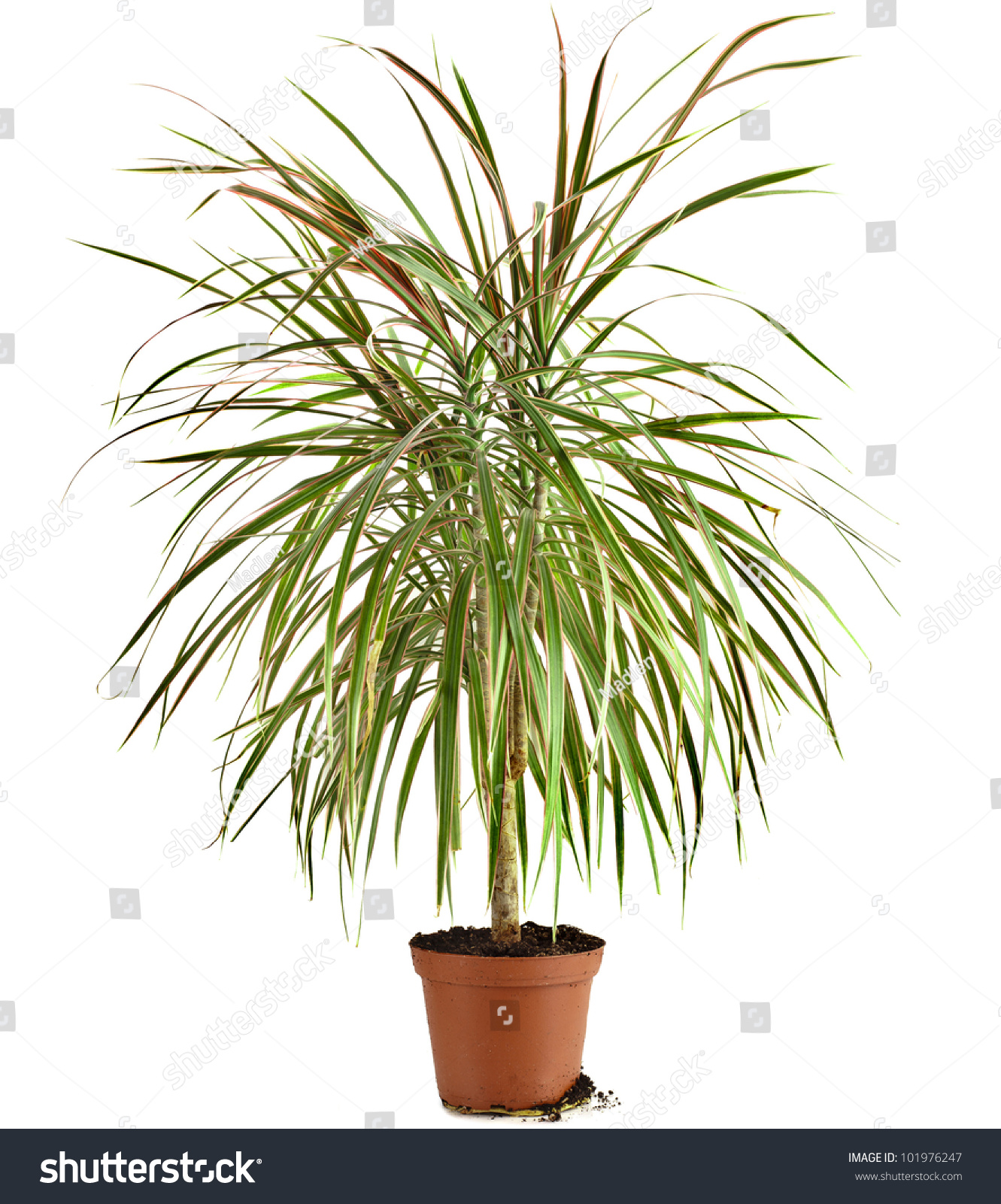 dracaena palm plant flower pot isolated stock photo 101976247 shutterstock. Black Bedroom Furniture Sets. Home Design Ideas
