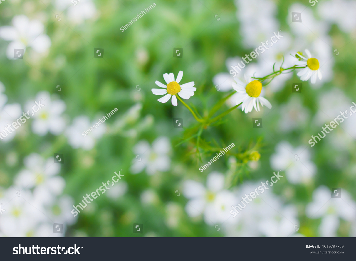 Chamomile Wild Daisies Spring Flowers Field Background Nature