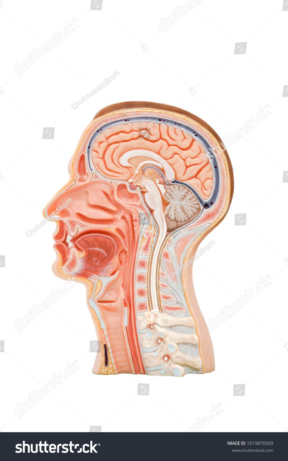 Erfreut Head Anatomy And Physiology Galerie - Menschliche Anatomie ...