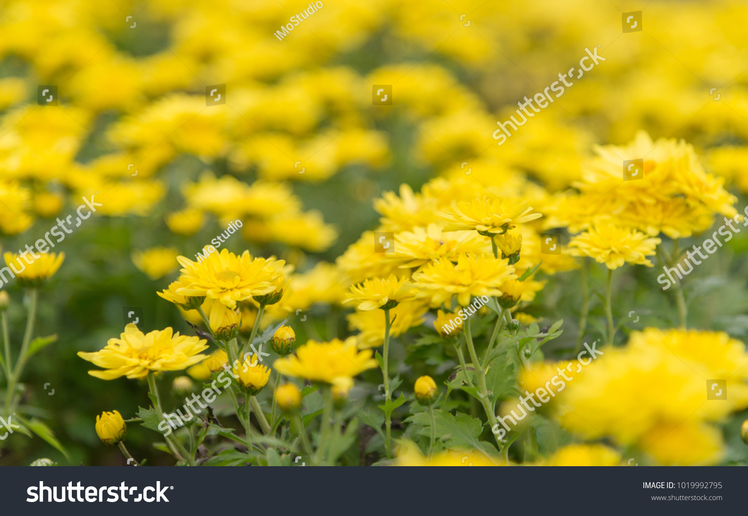 Yellow Flower In Sping Nature Backgroundpanoramin Banner With Copy