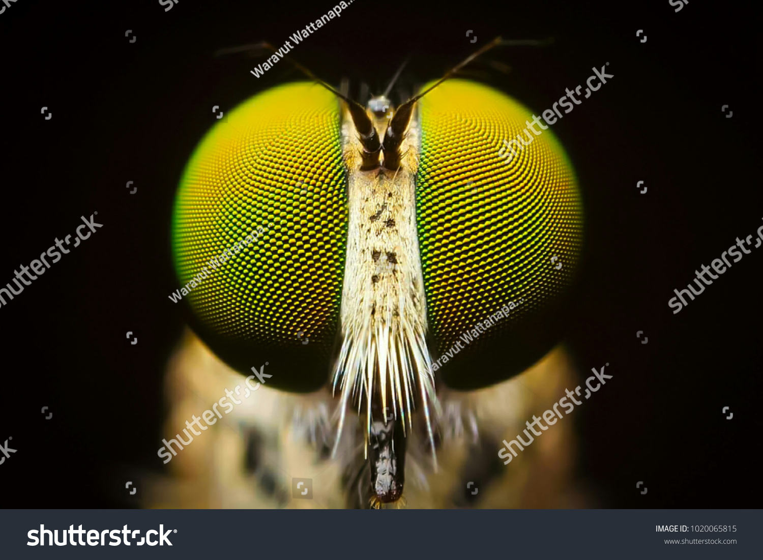 Macro shot. The Calliphoridae (commonly known as blow fly, carrion fly, bluebottle, greenbottle, or cluster fly) are a family of insects in the order Diptera.Showing of eyes detail.Insect life concept #1020065815