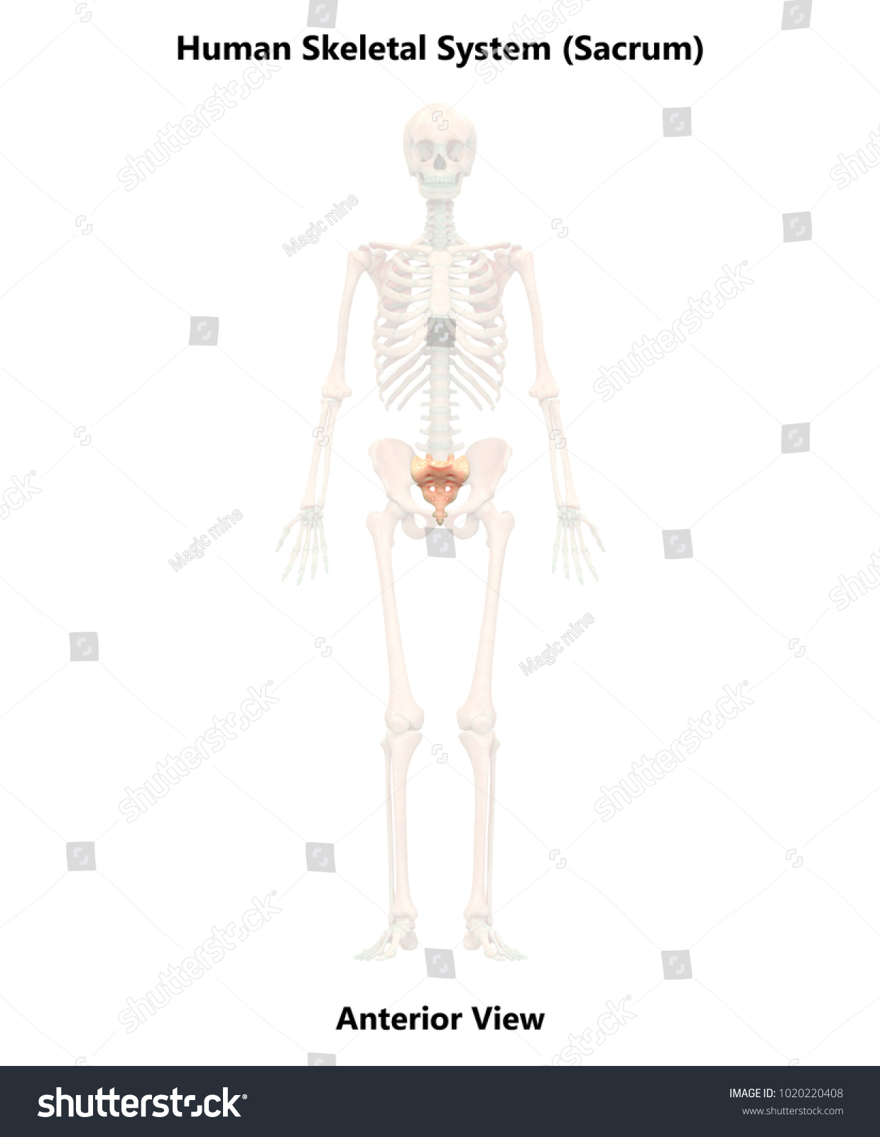 Human Skeleton System Sacrum Anatomy Anterior Stock Illustration ...