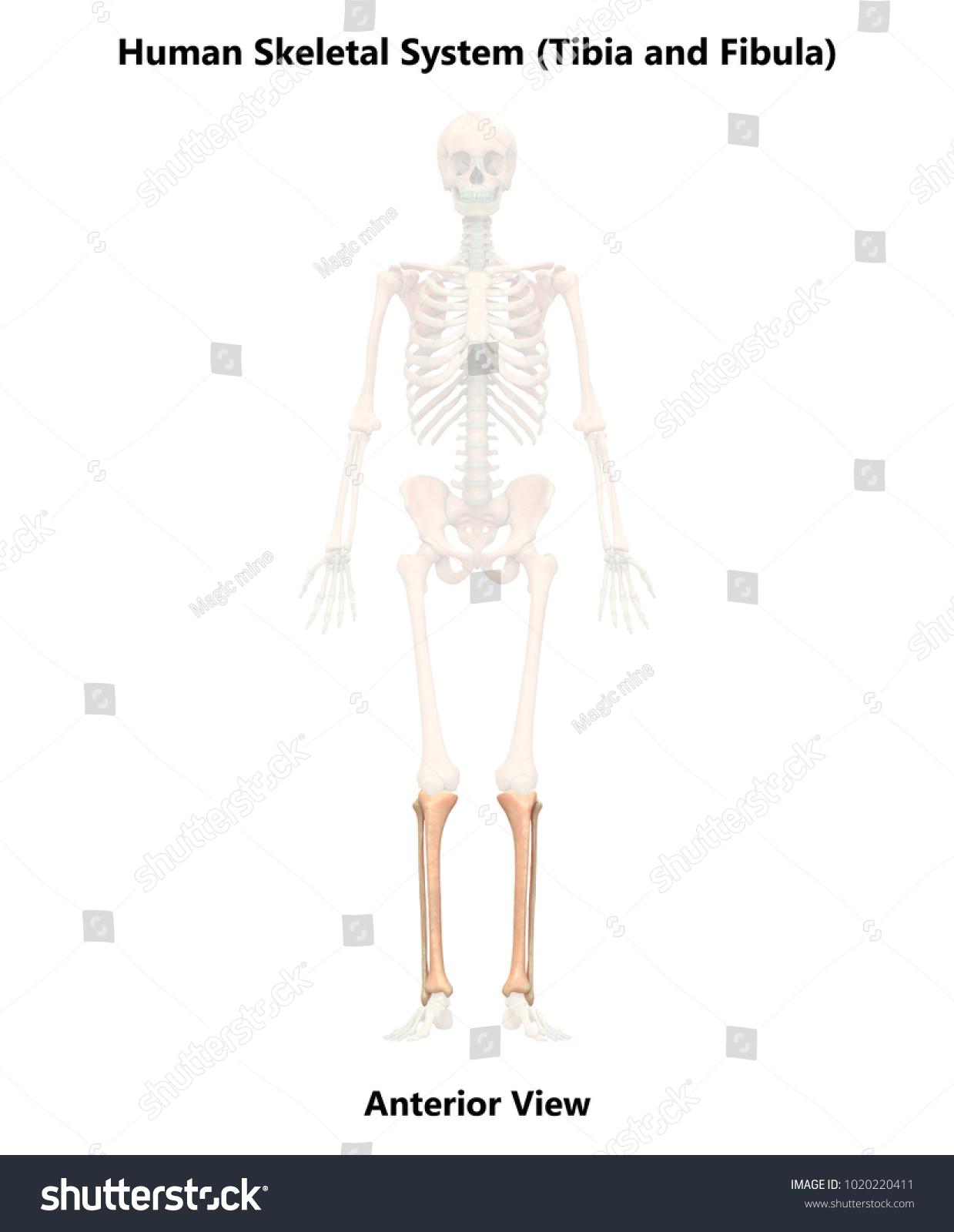 Human Skeleton System Fibula Tibia Anatomy Stock Illustration ...