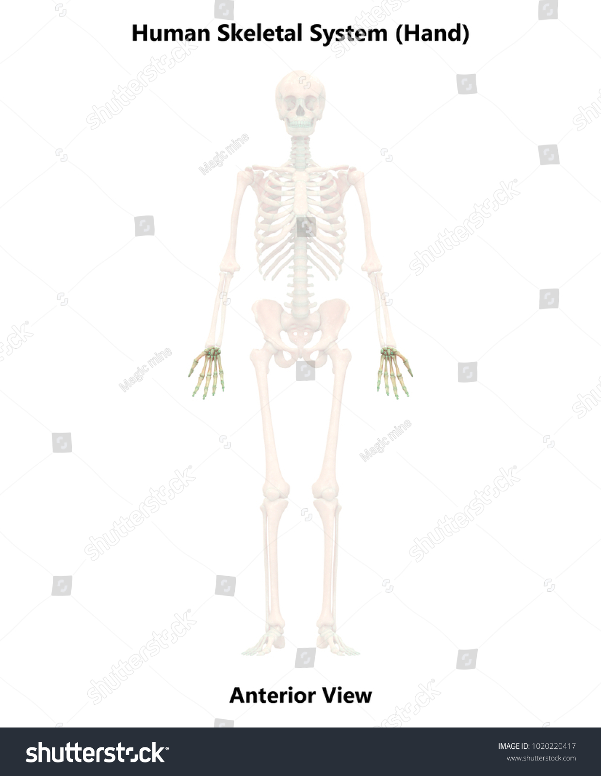 Human Skeleton System Hand Joints Anatomy Stock Illustration ...