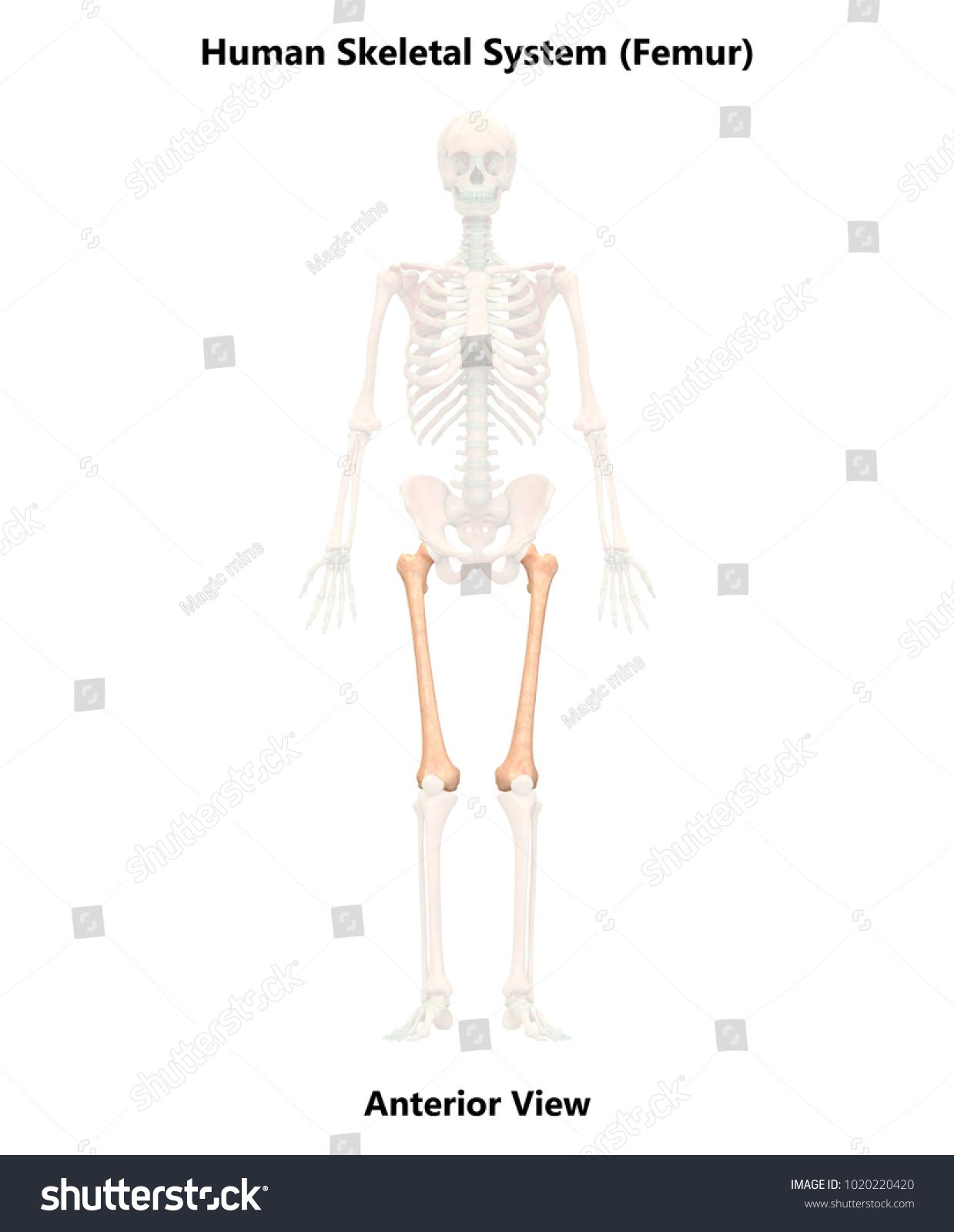 Human Skeleton System Femur Anatomy Anterior Stock Illustration ...