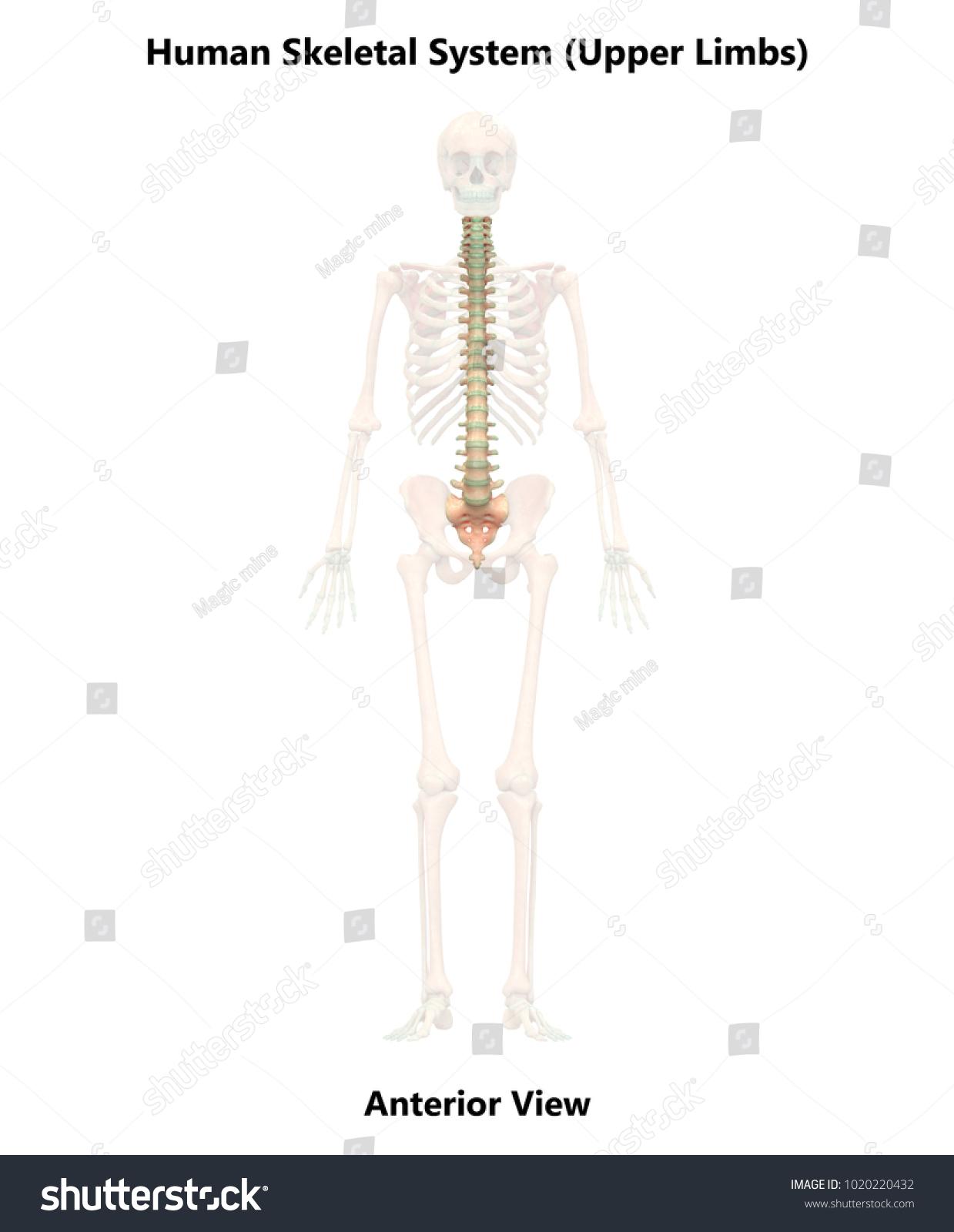 Human Skeleton System Vertebral Column Anatomy Stock Illustration ...