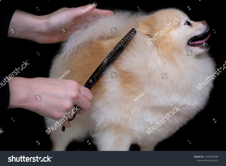 Grooming Dogs Haircut Spitz Pomeranian Professional Stock Photo