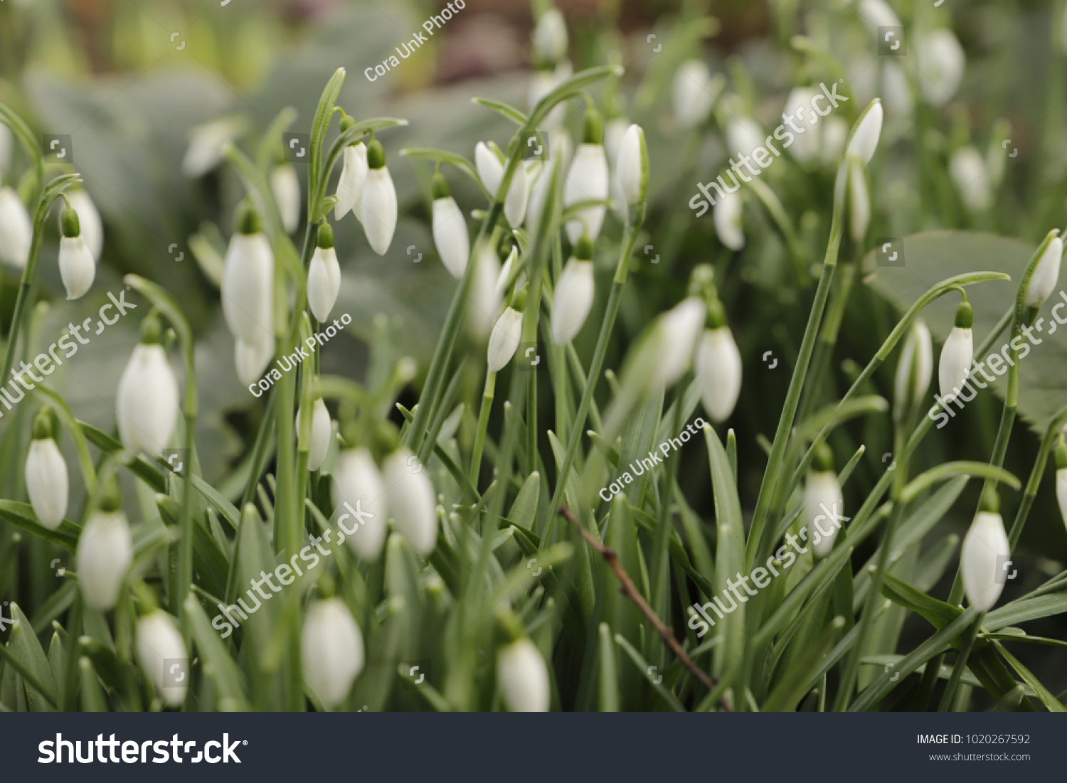 Leucojum Vernum In The Forest Called Spring Snowflake Is A