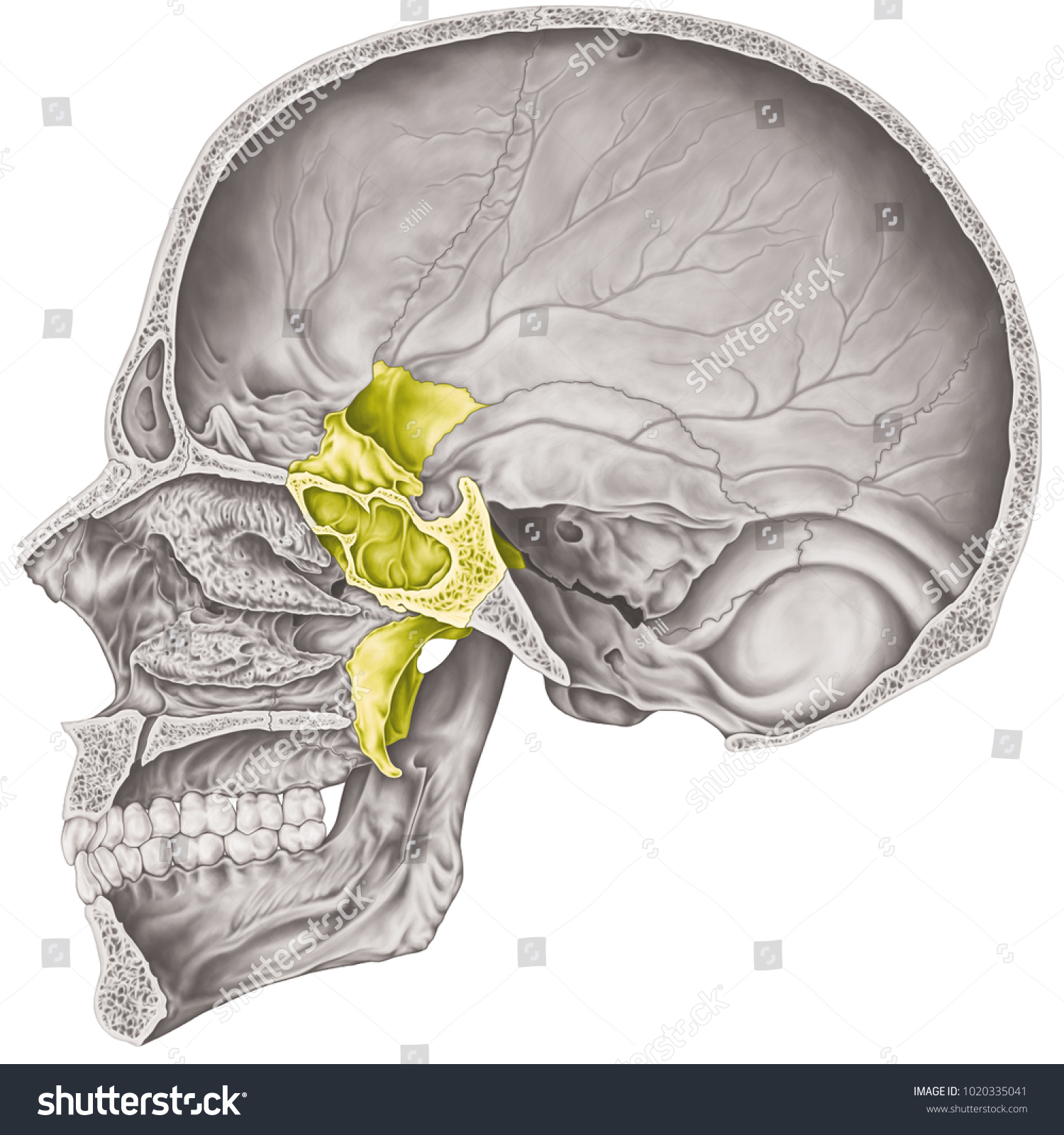 Cranial Cavity Sphenoid Bone Cranium Bones Stock Illustration ...