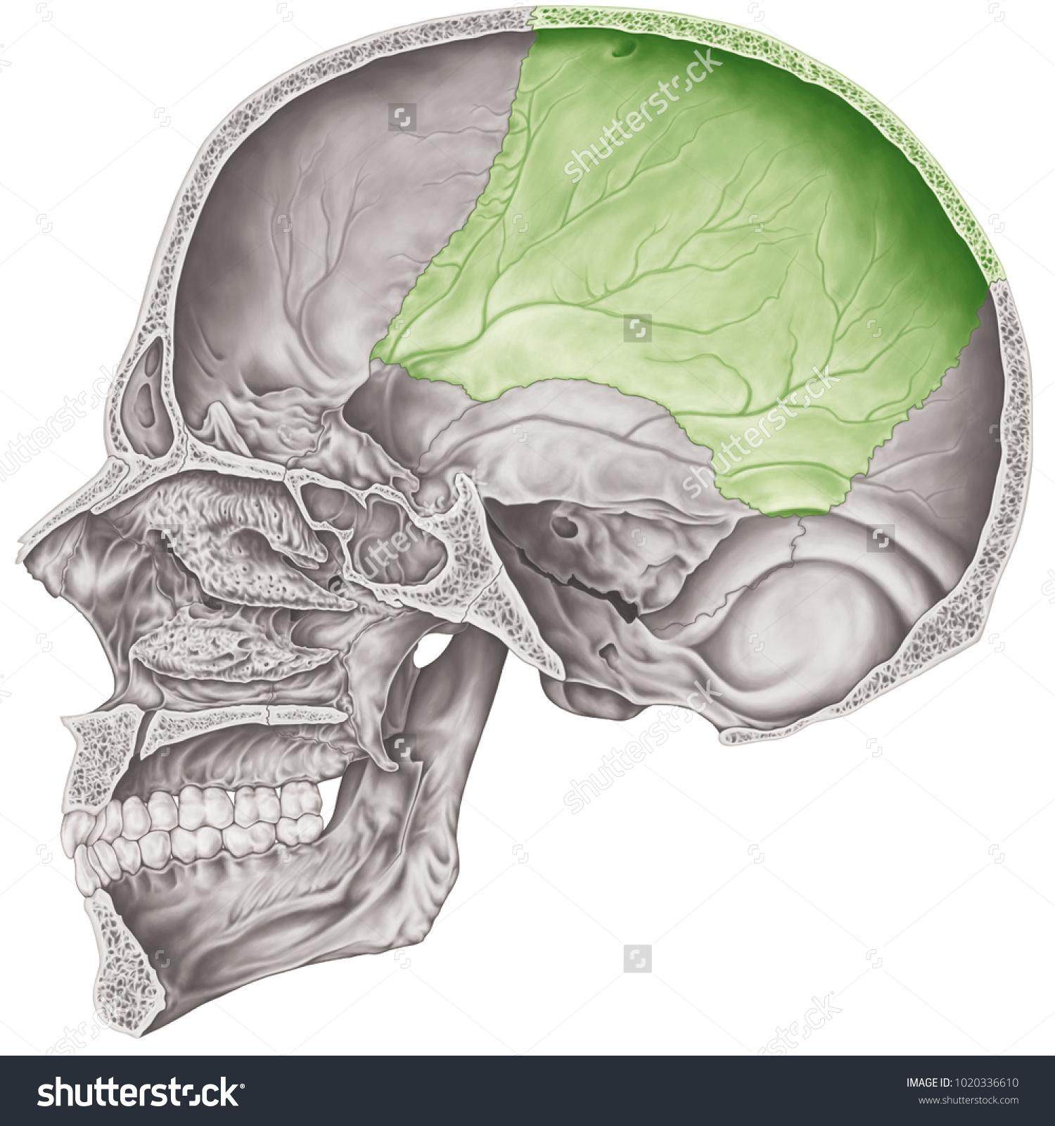 Cranial Cavity Parietal Bone Cranium Bones Stock Illustration
