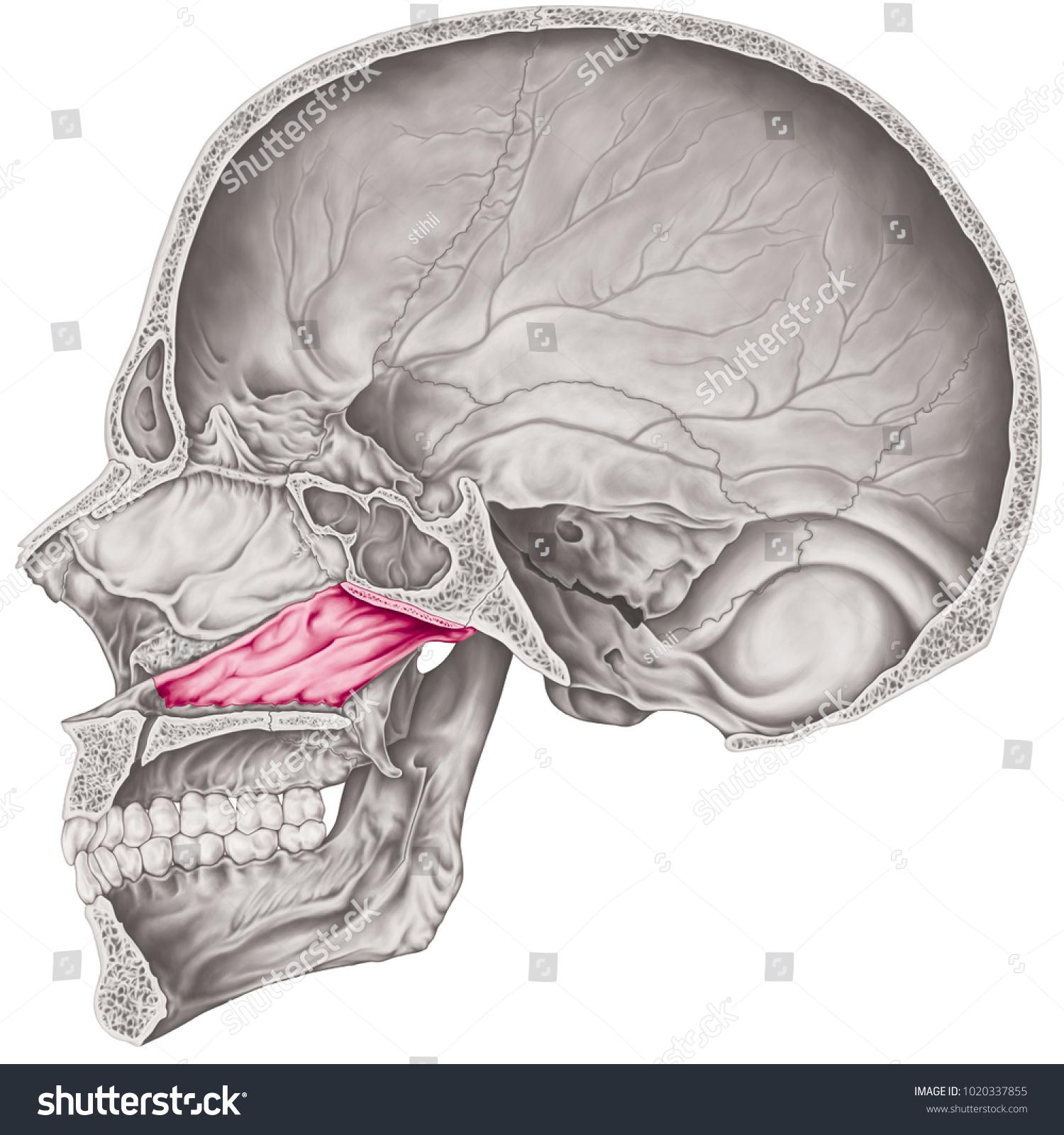 Cranial Cavity Vomer Bone Cranium Bones Stock Illustration Royalty