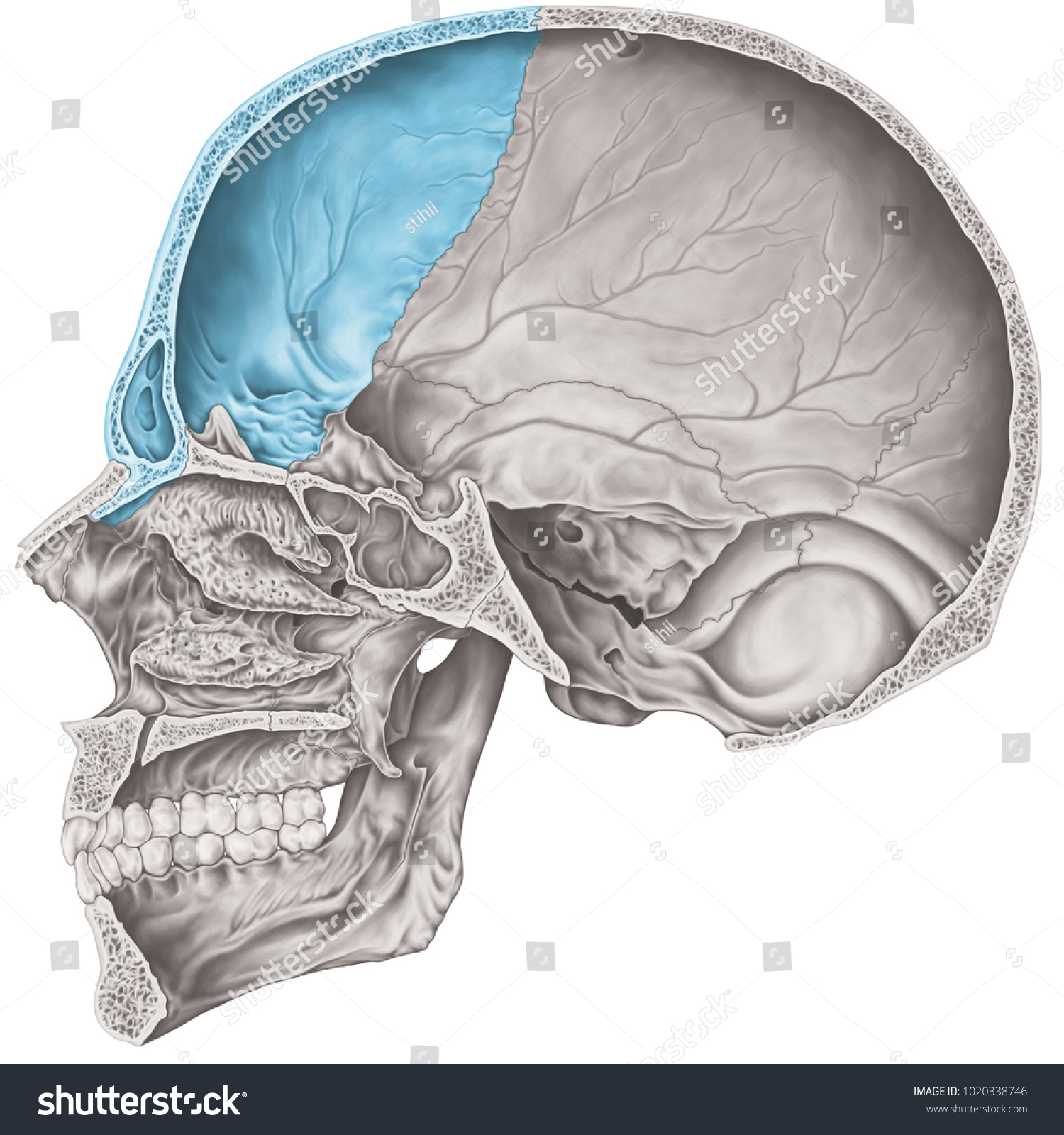 Cranial Cavity Frontal Bone Cranium Bones Stock Illustration