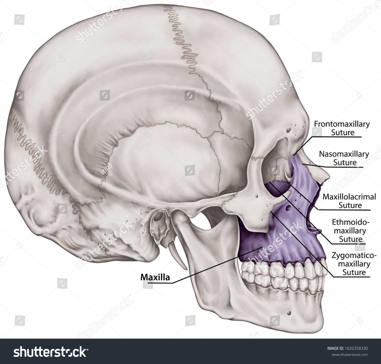 Maxilla Bone Cranium Bones Head Skull Stock Illustration 1020358330 ...