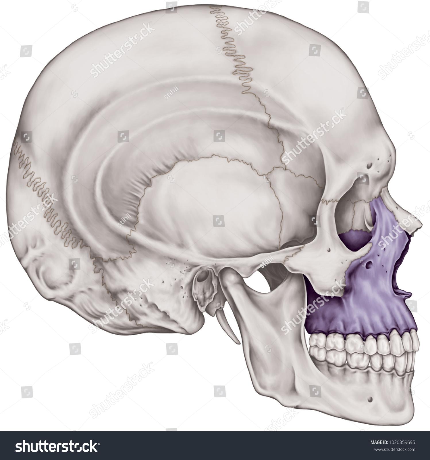 Maxilla Bone Cranium Bones Head Skull Stock Illustration 1020359695