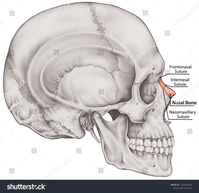 Royalty Free Stock Illustration Of Nasal Bone Cranium Bones Head