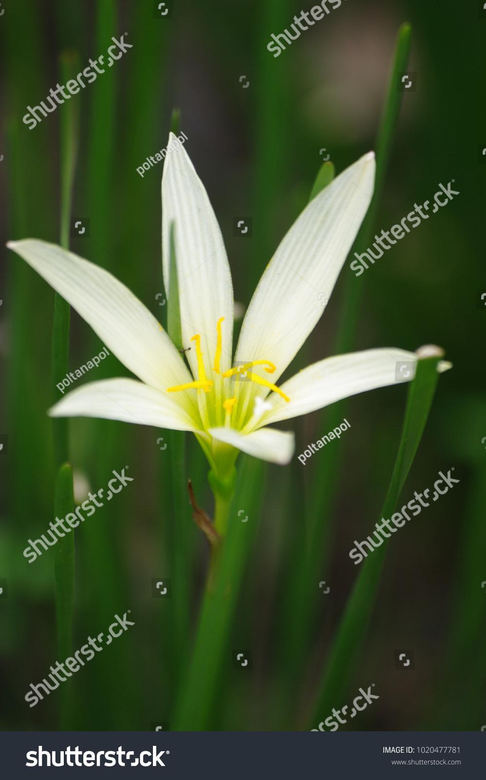 White Rain Lily Flower Yellow Pollen Stock Photo Edit Now