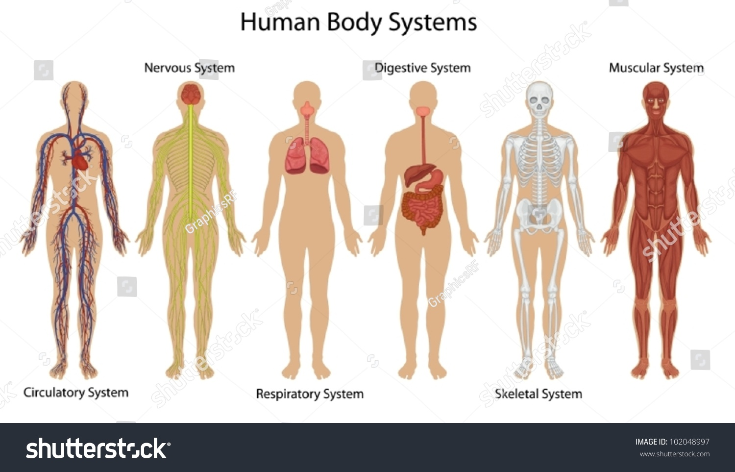 Illustration Human Body Systems Stock Vector 102048997 - Shutterstock