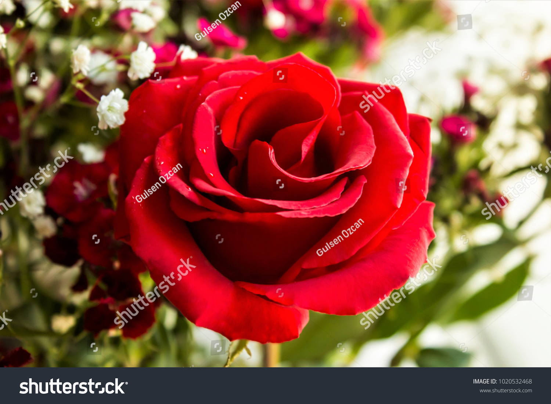 Selected very beautiful red rose flowerstaken stock photo image selected very beautiful red rose in flowerstaken macroisolatedlentines day or izmirmasajfo