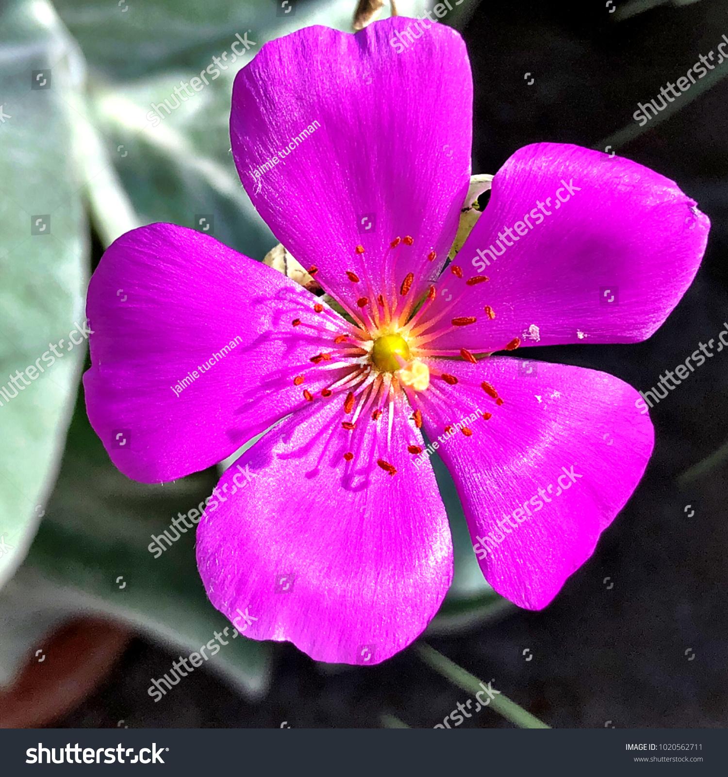 Macro Purple Flower Yellow Center Stock Photo Edit Now 1020562711