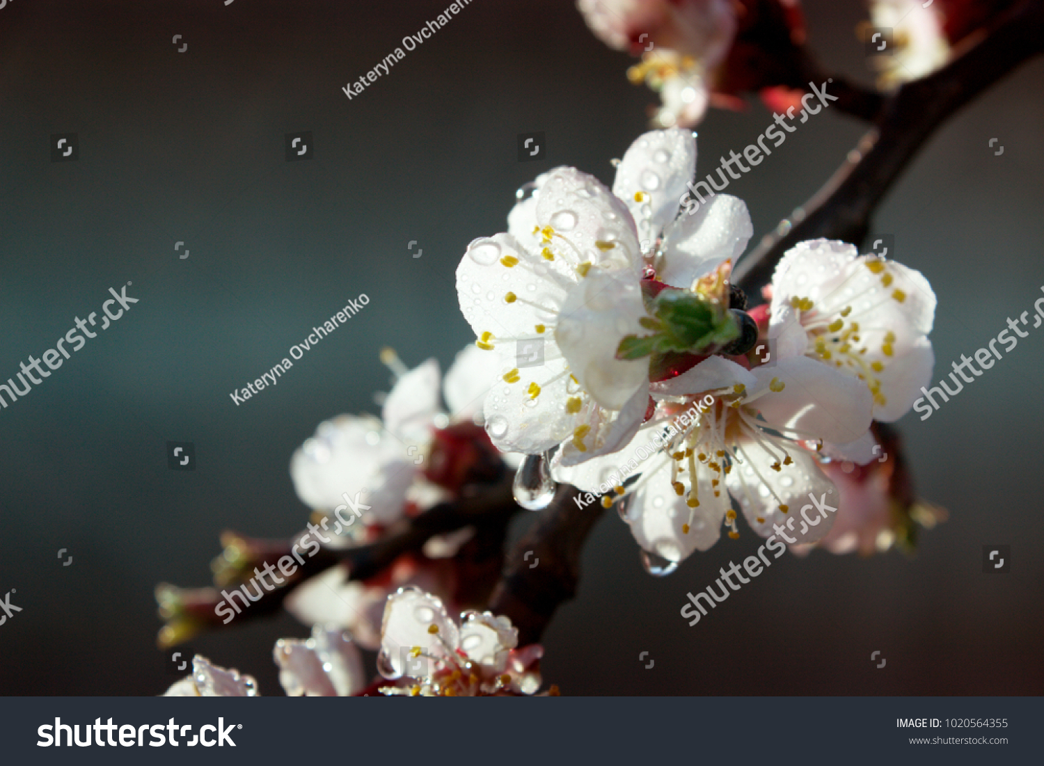 Apricot Tree Flowers Spring White Flowers Stock Photo Edit Now