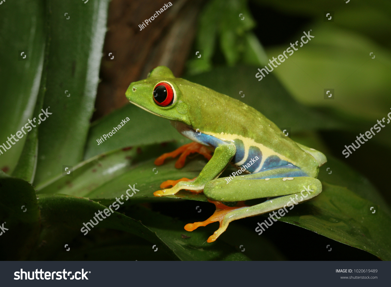 Redeyed Tree Frog Arboreal Hylid Native Stock Photo (Royalty Free ...