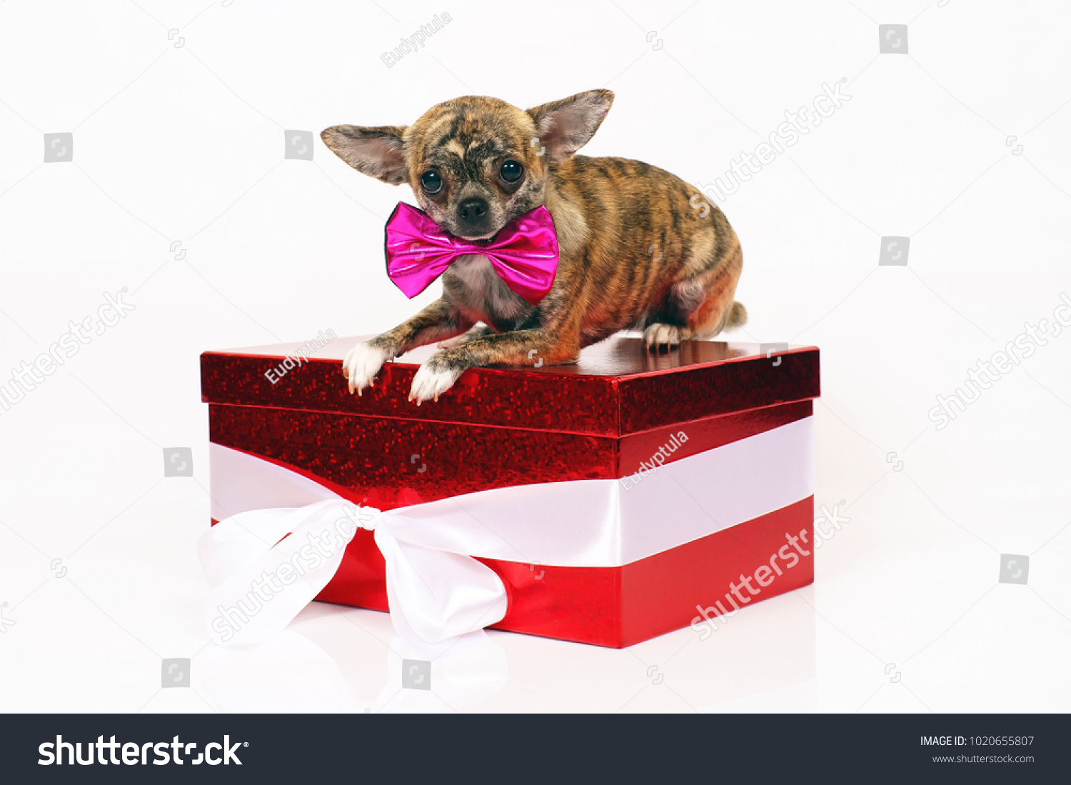 Shorthaired Brindle Chihuahua Dog Wearing Pink Stock Photo Edit Now 1020655807