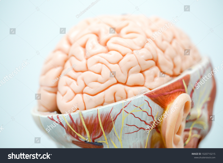 Human Brain Anatomy Model Education Physiology Stock Photo (Edit Now ...
