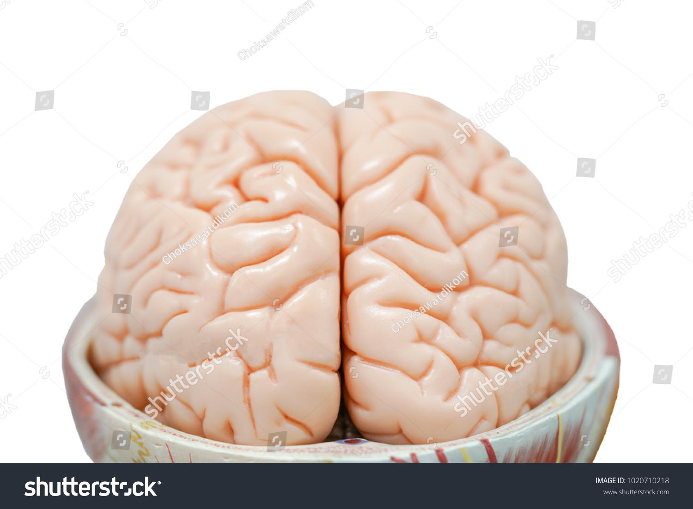 Human Brain Anatomy Model Education Physiology Stock Photo ...