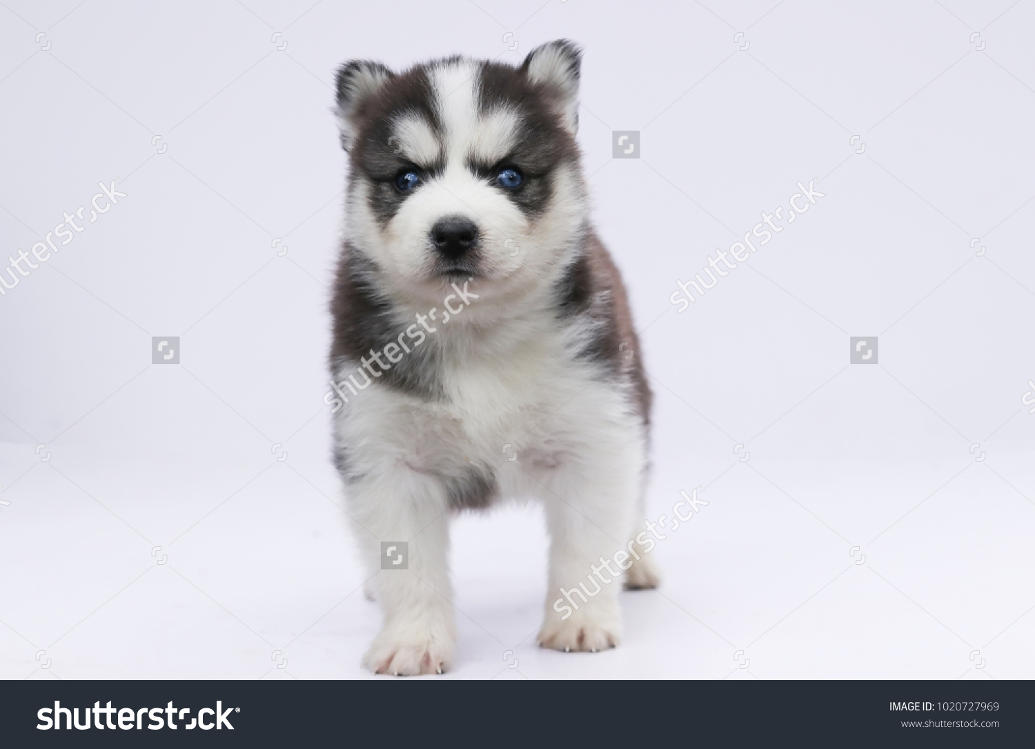Siberian Husky Puppy Cute White Background Stock Photo Edit Now